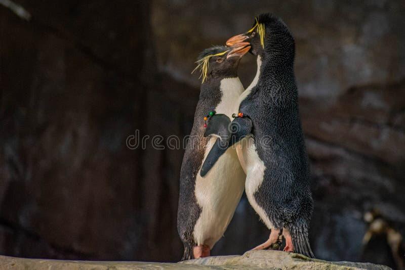 Förälskade pingvin som spelar med deras hackor på Seaworld 7 royaltyfri fotografi