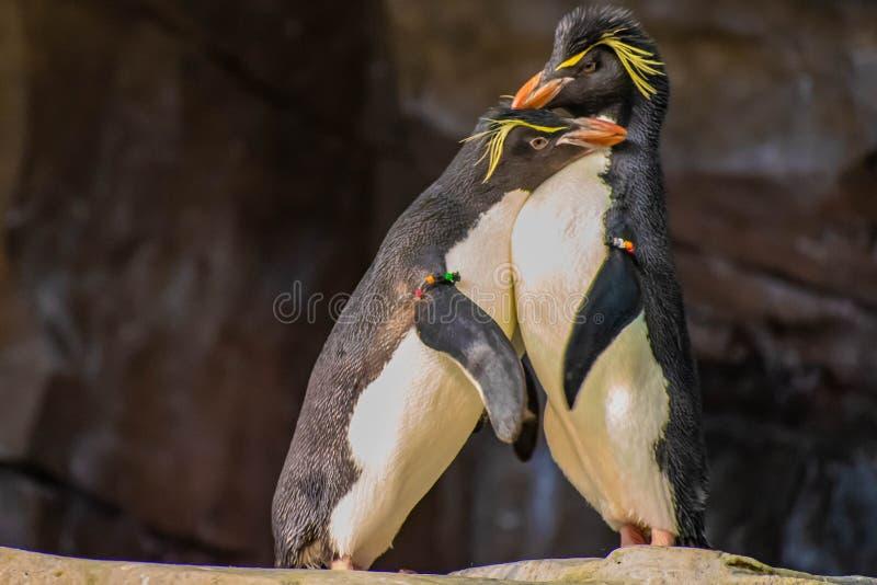 Förälskade pingvin som spelar med deras hackor på Seaworld 8 royaltyfri foto