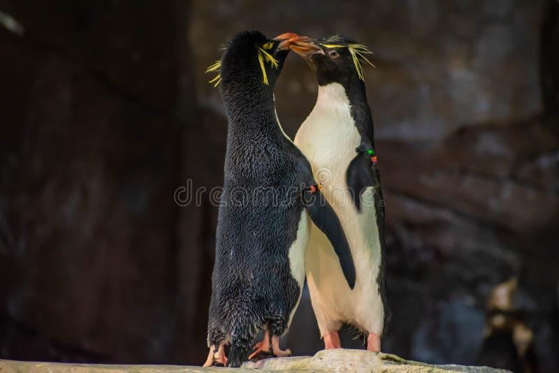 Förälskade pingvin som spelar med deras hackor på Seaworld 9 royaltyfria foton