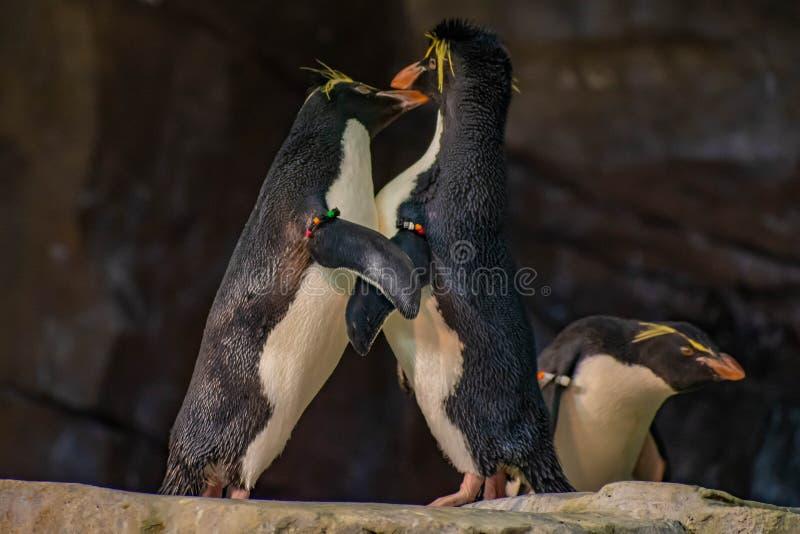 Förälskade pingvin som spelar med deras hackor på Seaworld 10 fotografering för bildbyråer