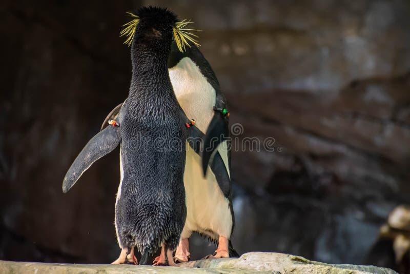 Förälskade pingvin som spelar med deras hackor på Seaworld 12 arkivfoton