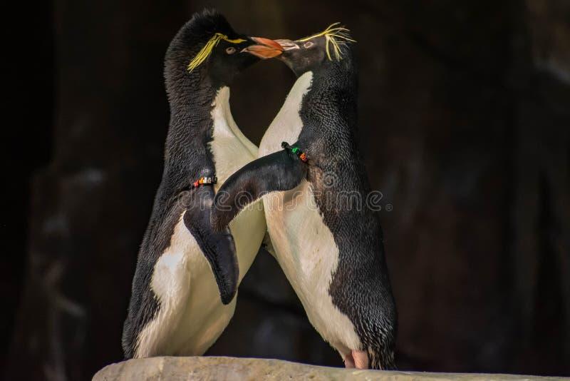 Förälskade pingvin som spelar med deras hackor på Seaworld 13 royaltyfria foton