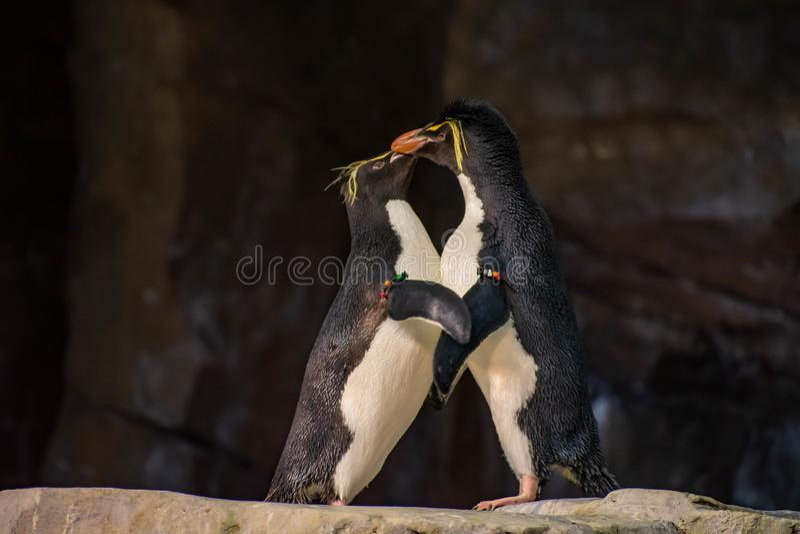 Förälskade pingvin som spelar med deras hackor på Seaworld 14 arkivfoto