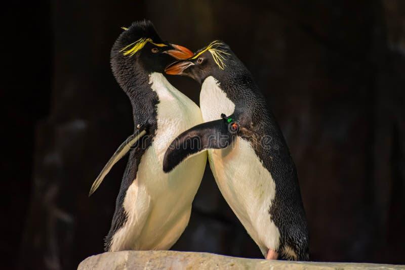 Förälskade pingvin som spelar med deras hackor på Seaworld 16 royaltyfri foto