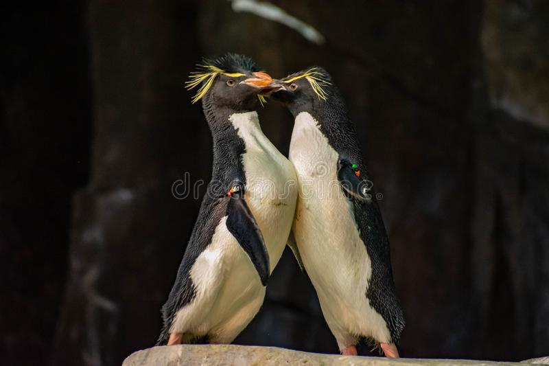 Förälskade pingvin som spelar med deras hackor på Seaworld 17 arkivbild
