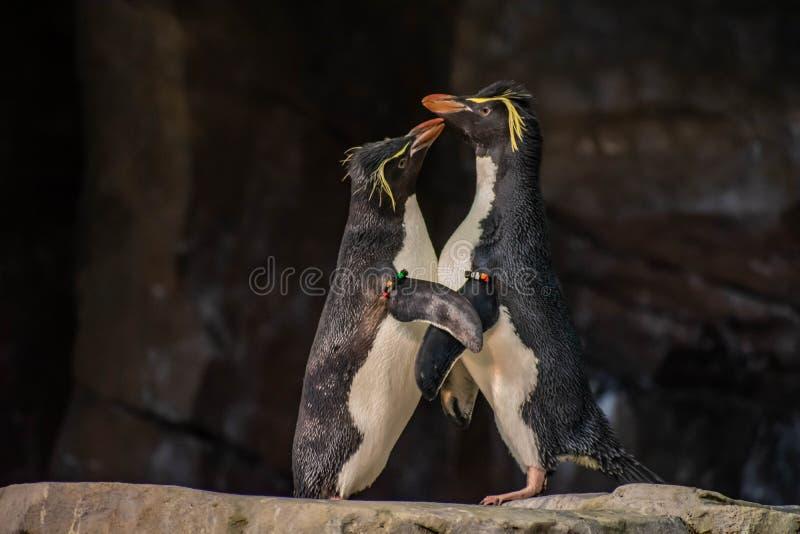 Förälskade pingvin som spelar med deras hackor på Seaworld 18 royaltyfri fotografi