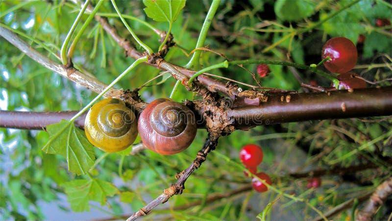 Förälskade Snails arkivbilder
