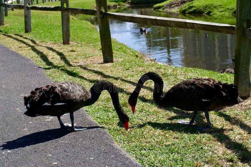 Förälskade svarta svanar tillsammans royaltyfri foto