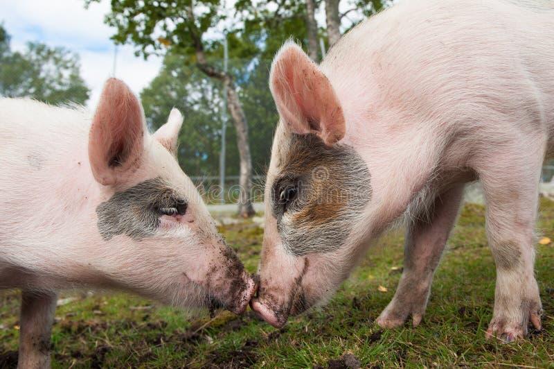 Förälskade svin arkivfoto