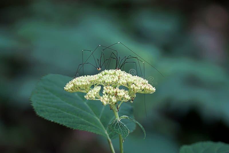 Förälskelse är i luften för ett spindelpar uppe på en lös blomma arkivfoto