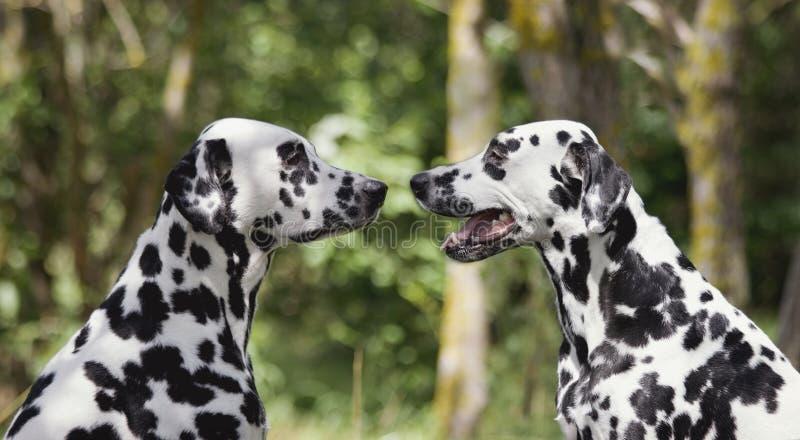 Förälskelse och kamratskap mellan två dalmatian hundkapplöpning arkivfoto