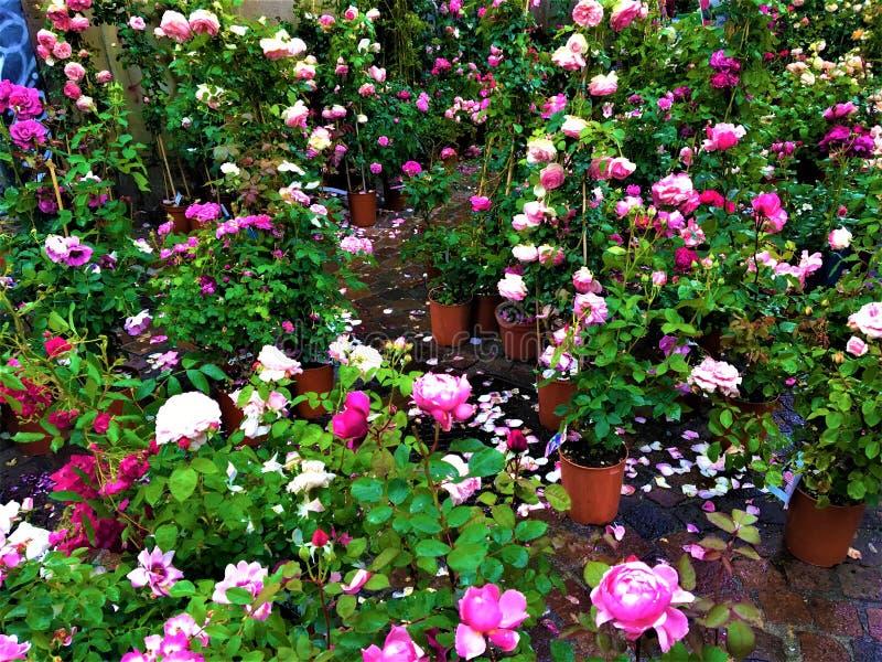 Förälskelse, rosor, romantiskt lynne och sentimentalitet arkivfoton