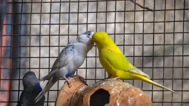 Förälskelsefåglar Budgie fotografering för bildbyråer