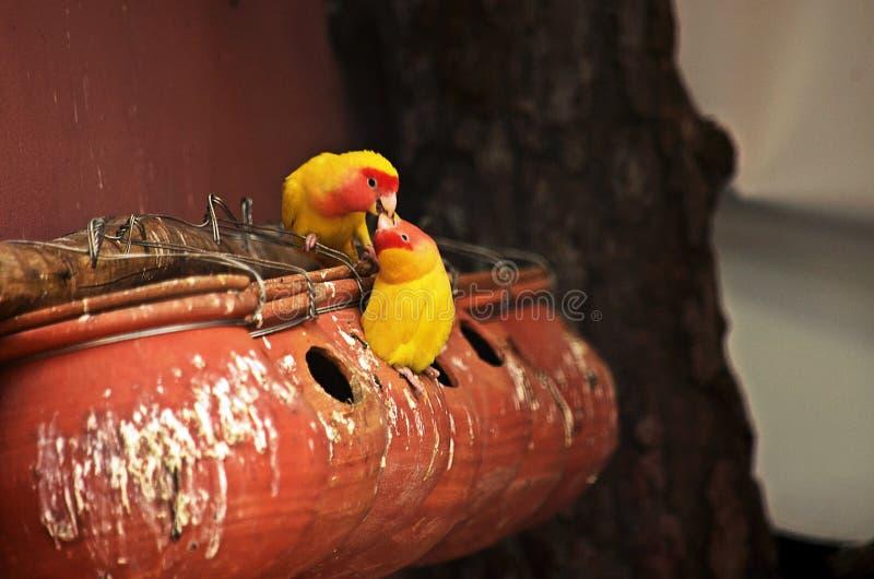 Förälskelsefåglar och en tree royaltyfri bild