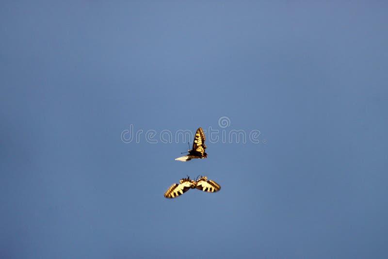 Förälskelsefluga och lek av fjärilen Par av östliga tigerswallowtailfjärilar som kopplar in i kurtis och parar ihop mitt- luft i  arkivbilder
