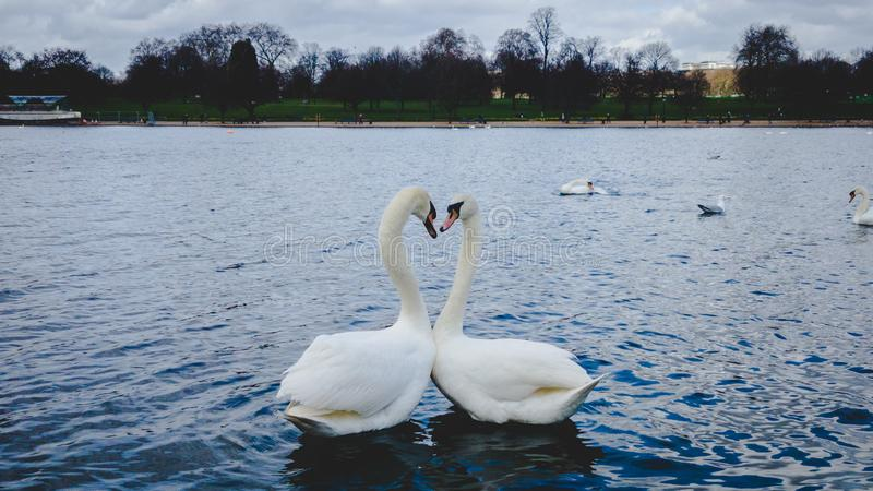 Förälskelsesvanar i London sjön arkivfoto