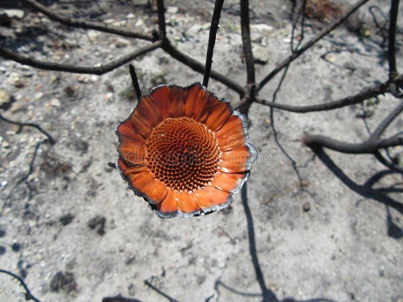Förödelse kommer med framåt en brandblomma royaltyfri foto