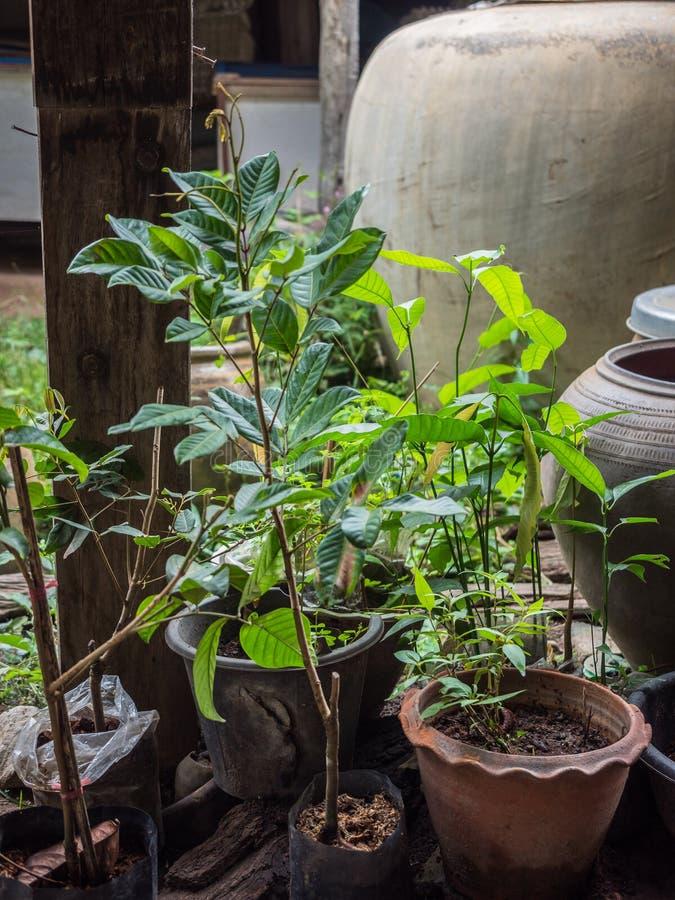 Förökning för ung växt för Longan i den svarta plastpåsen, naturbildbakgrund royaltyfri bild