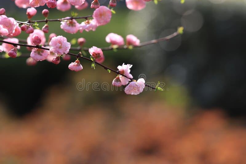 För Ã- för ˆPrunus för PrunusmumeMeirenï ¼ CV blireana Meirenï ¼‰, arkivbilder