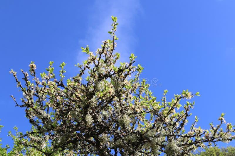 För äppleträd för gammal knotig lav bevuxen överkant efter blomning arkivfoto