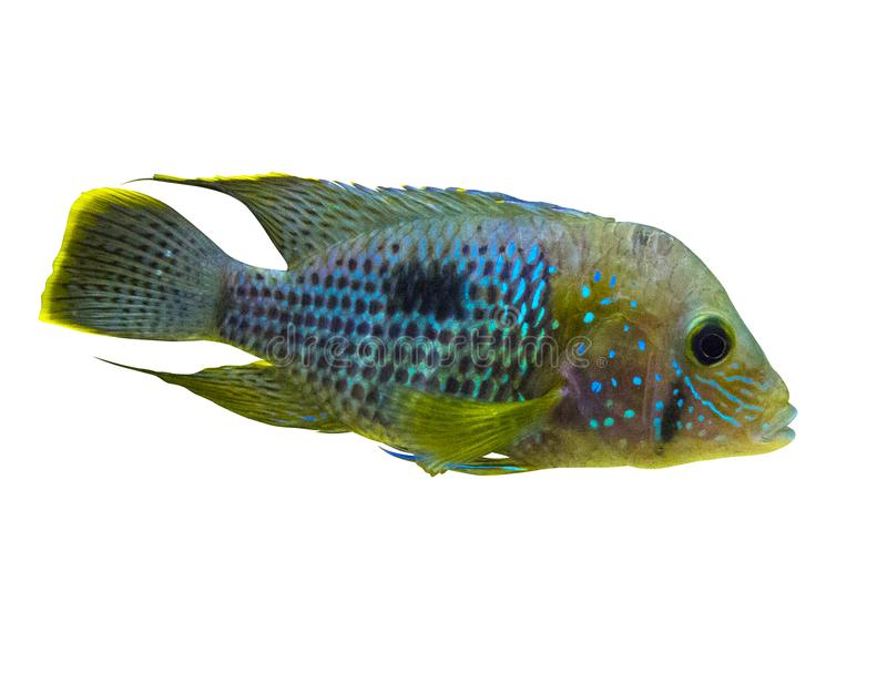 För Acara för elkraft blå fisk Cichlid Nannacara neonblått arkivfoton