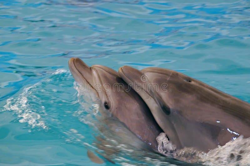 För Afalina för två lyckligt delfin sväva gift par royaltyfria bilder