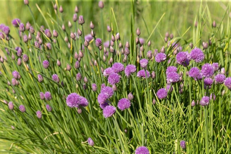 För Alliumblomma för lös lök vildblomma för blommor royaltyfria foton