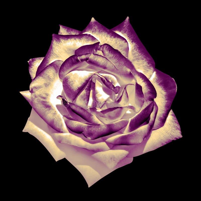 För anbudros för overklig mörk krom isolerad retro makro för blomma royaltyfri foto