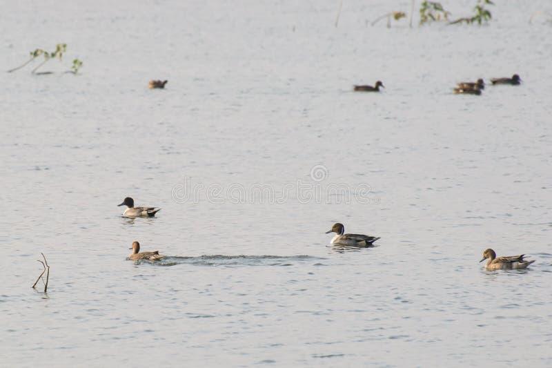 För andAnas för nordlig Pintail simning för acuta i en sjö arkivfoton
