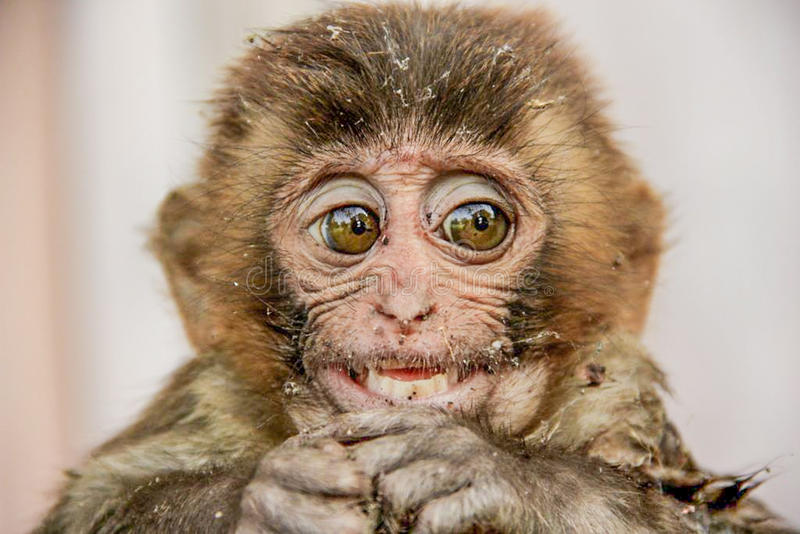 För aparhesusapa för gammal värld macaque royaltyfria bilder