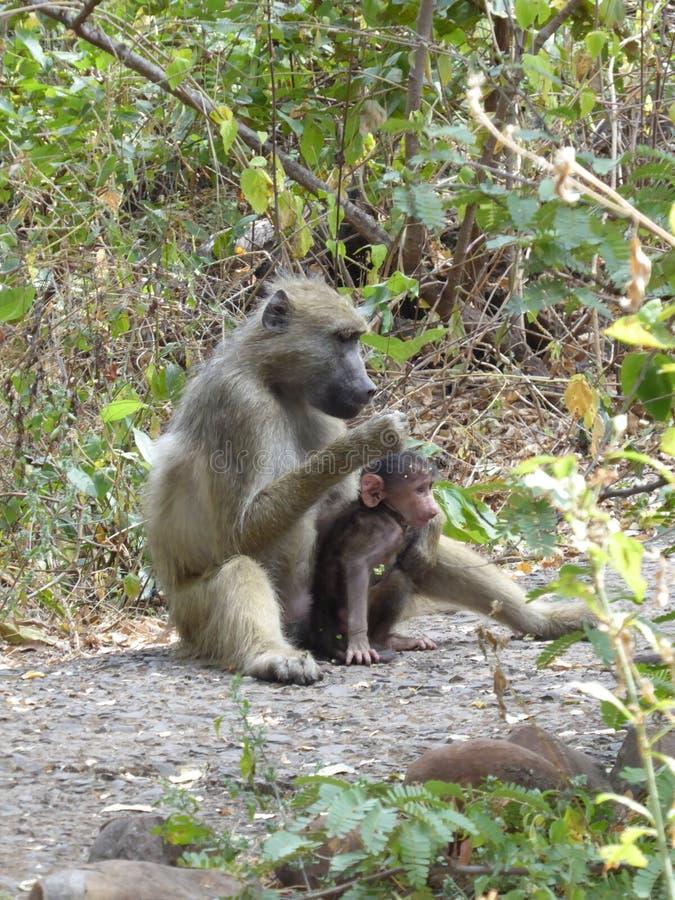 För babianer för Zambia familly för Afrika safari djurliv natur royaltyfri bild