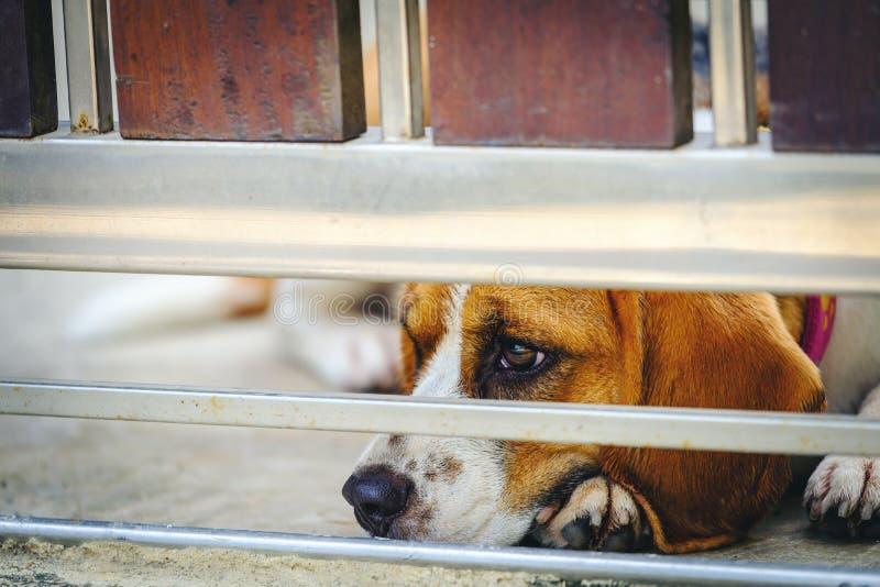 För beaglevalp för stående som gullig hund ser i dörrstaket Tappning fi royaltyfri bild