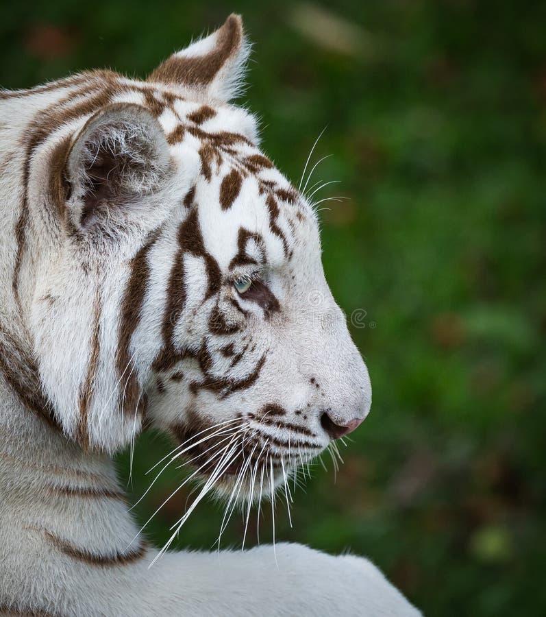 För bengal för profil vit belägen mitt emot rätt tiger royaltyfria bilder