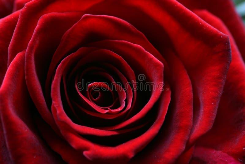 för bildmakroen för blom steg mörk full red royaltyfri foto