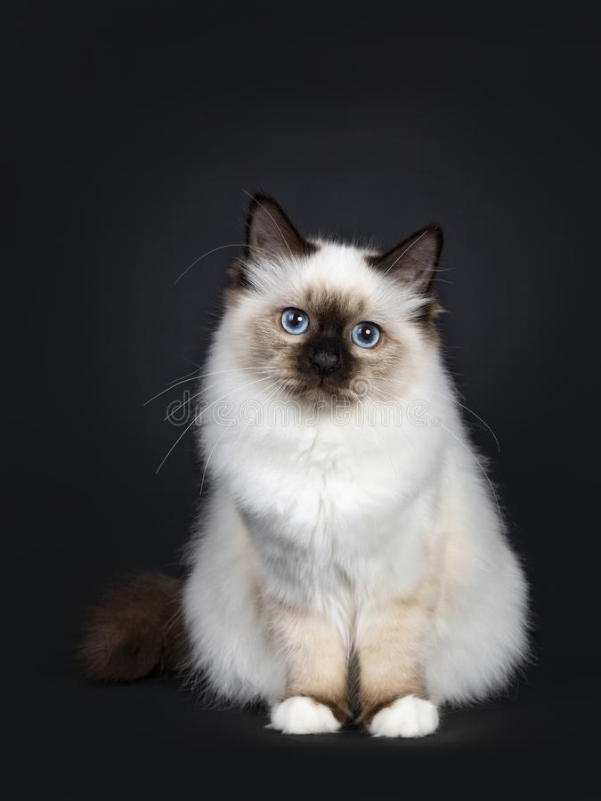 För Birman för gullig skyddsremsapunkt som sakral kattunge katt isoleras på svart bakgrund royaltyfria bilder