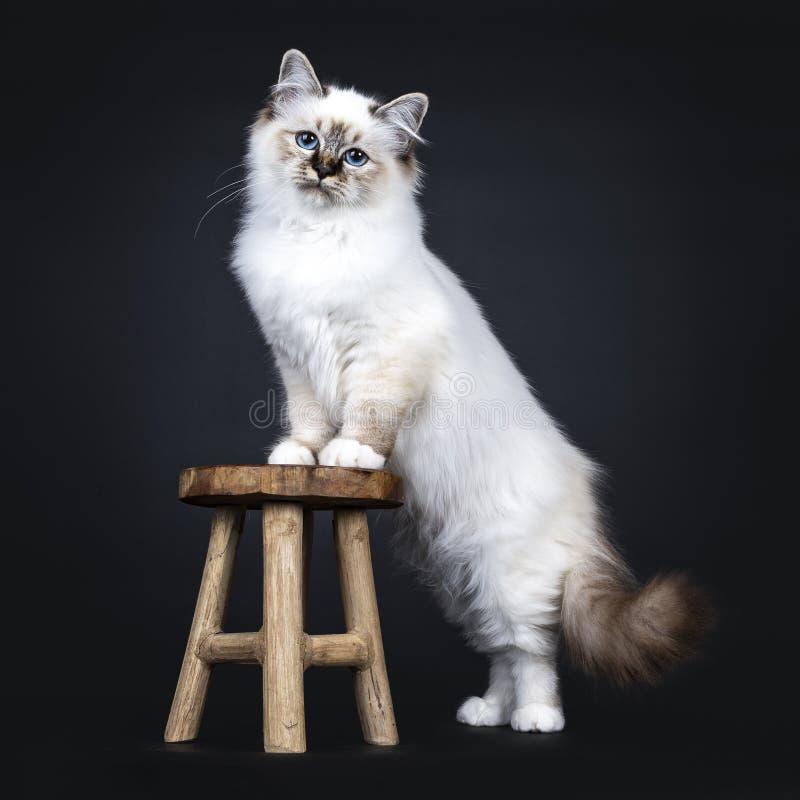 För Birman för utmärkt strimmig kattpunkt som sakral kattunge katt isoleras på svart bakgrund royaltyfria foton