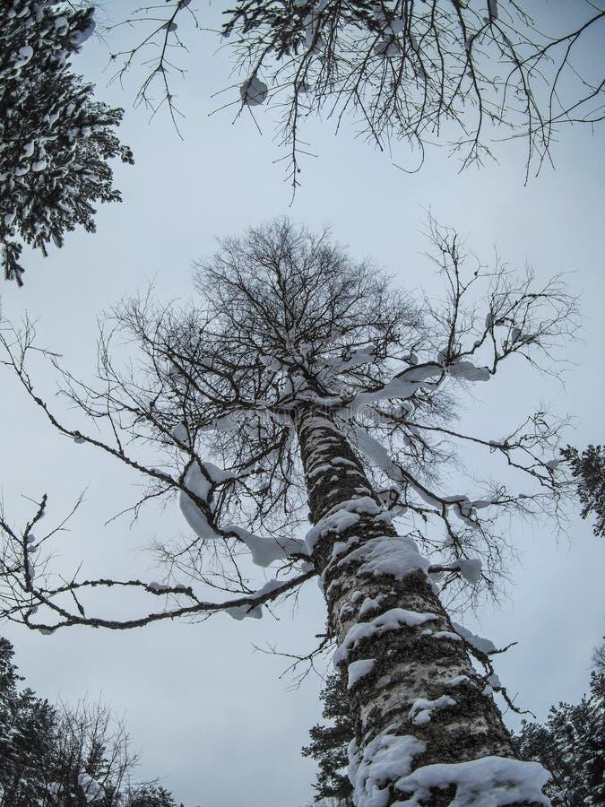 För björkträd för massiv snö dold botten upp skott arkivfoto