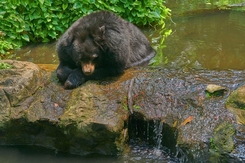 För björnlögn för svart buffel huvud ner på dammet med solljus arkivbilder