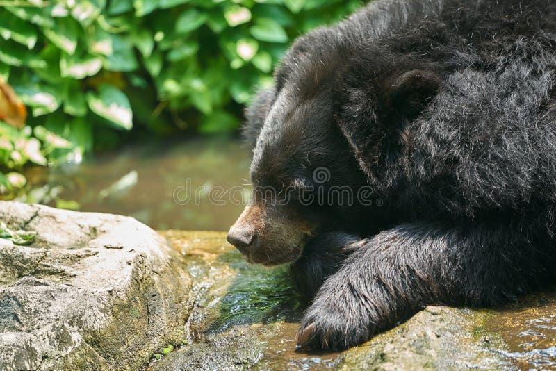 För björnlögn för svart buffel huvud ner på liten vattenström med solen arkivfoto