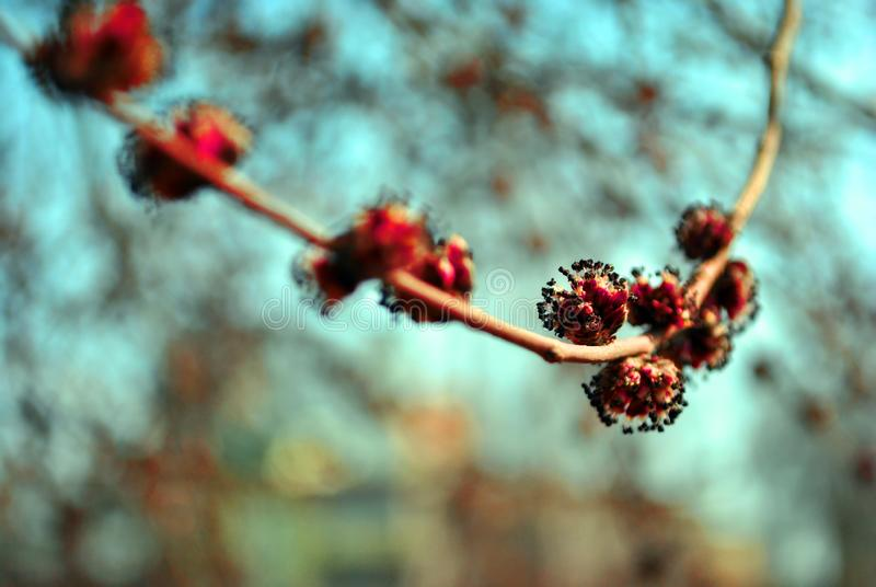 För blommaAcer för röd lönn filial för träd rubrum med rosa blommor för ny vår, oskarp himmelbokehbakgrund fotografering för bildbyråer