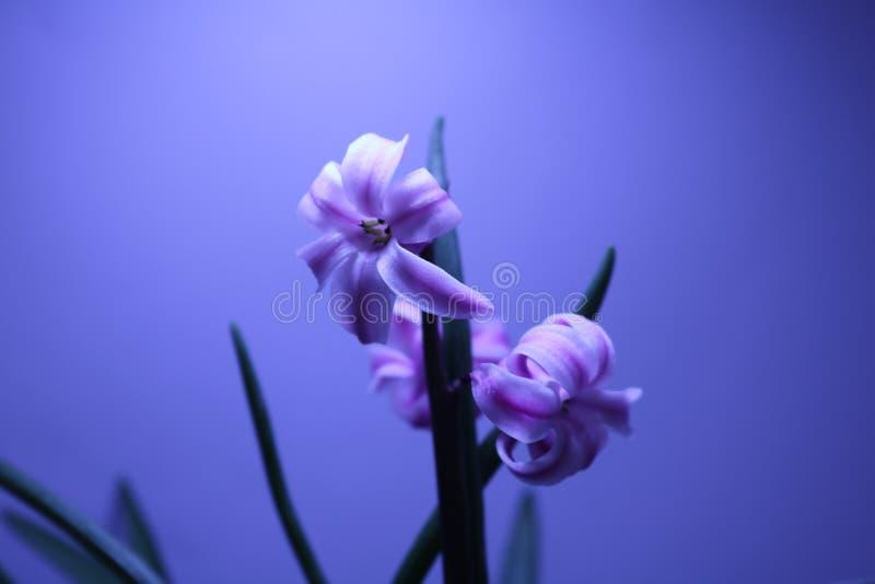 För blommabakgrund för blommor tre blomma royaltyfria bilder