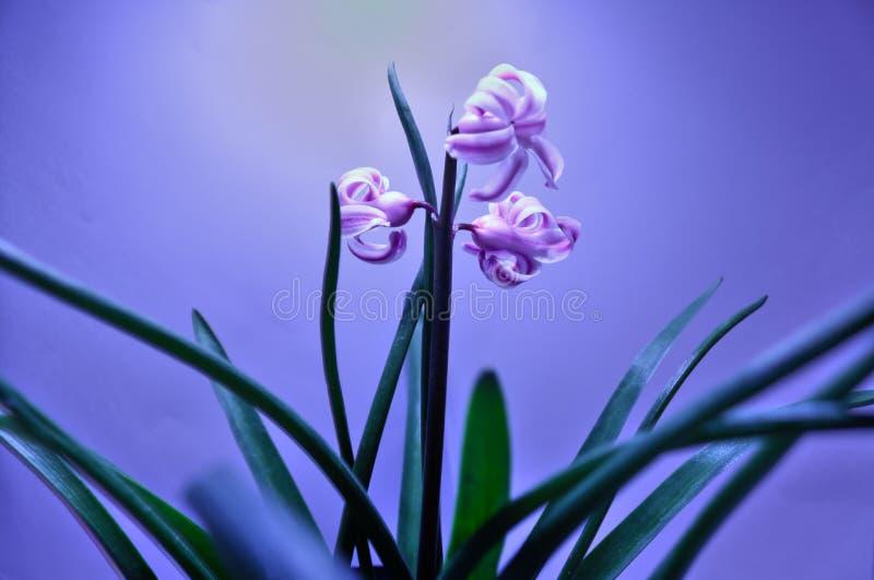 För blommabakgrund för blommor tre blomma royaltyfria foton