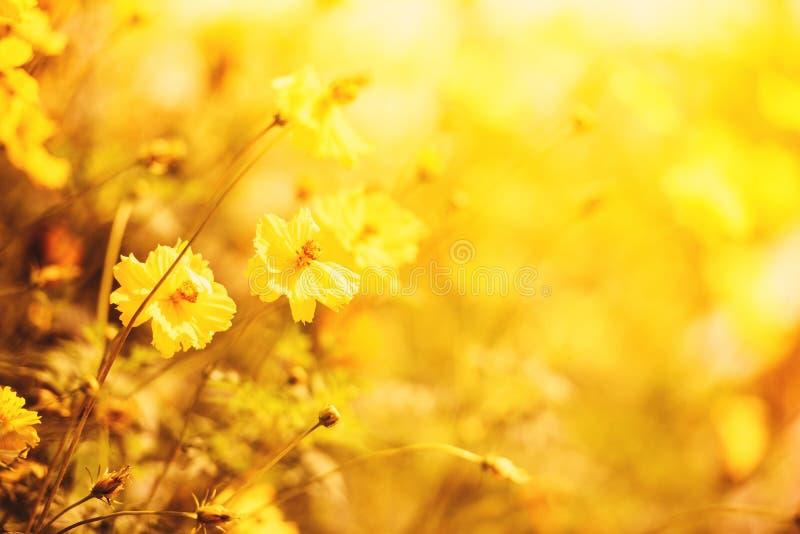 För blommafält för natur som gula färger för höst för calendula för växt för guling för bakgrund för suddighet är härliga i trädg royaltyfri foto