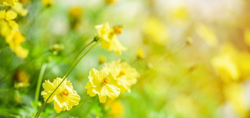 För blommafält för natur som gula färger för höst för calendula för växt för guling för bakgrund för suddighet är härliga i trädg royaltyfria foton