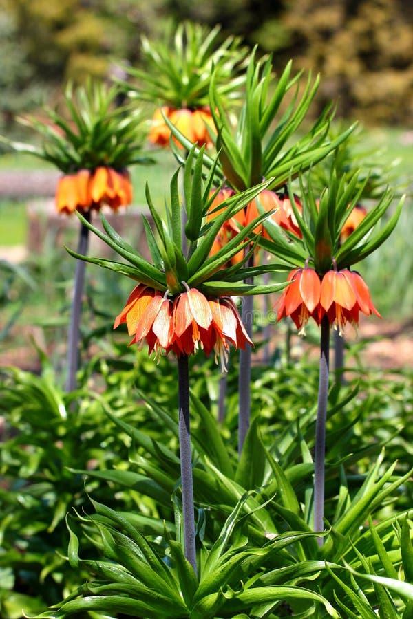För blommaFritillaria för krona imperialistiska imperialis royaltyfri bild