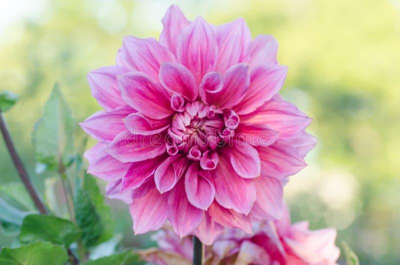 För blommamakro för dahlia färgrikt skott royaltyfria foton