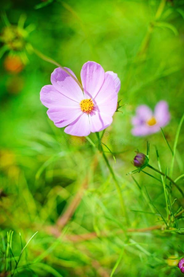 för blommapink för c eleganta smos för växt royaltyfri bild