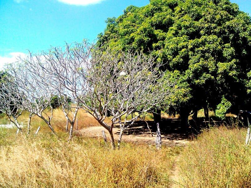 för blommaträd för vit vallmo trädgård arkivbilder