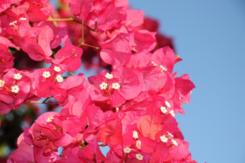 För blommaväxt för rosa buganvilla färgrik sikt i Ibiza Balearic Island royaltyfria bilder