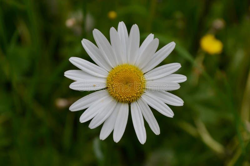 För blommavår för tusensköna vit gul sommar royaltyfri bild